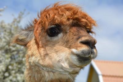 en av våra alpackor