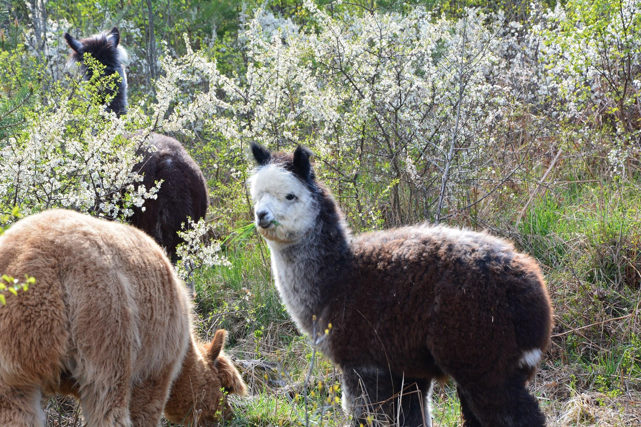 Våra djur. Svartvot alpacka i skogen