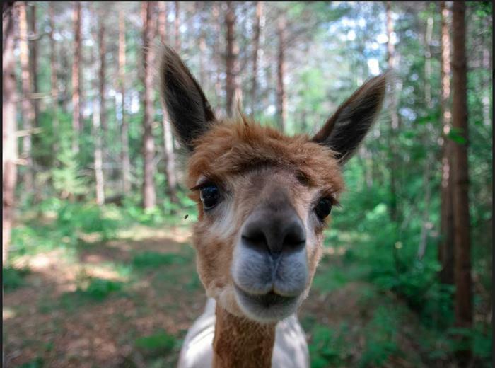 Mellanbrun alpacka närbild i skogen