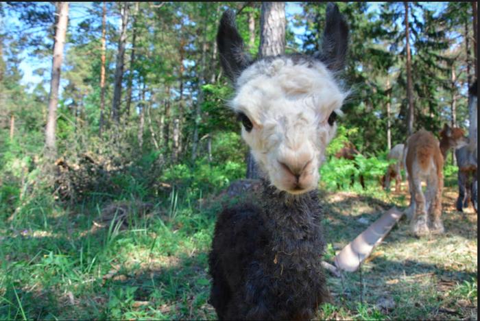 Våra alpackadjur. Svartvit alpacka närbild