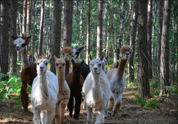 Våra djur. grupp alpackor i skogen