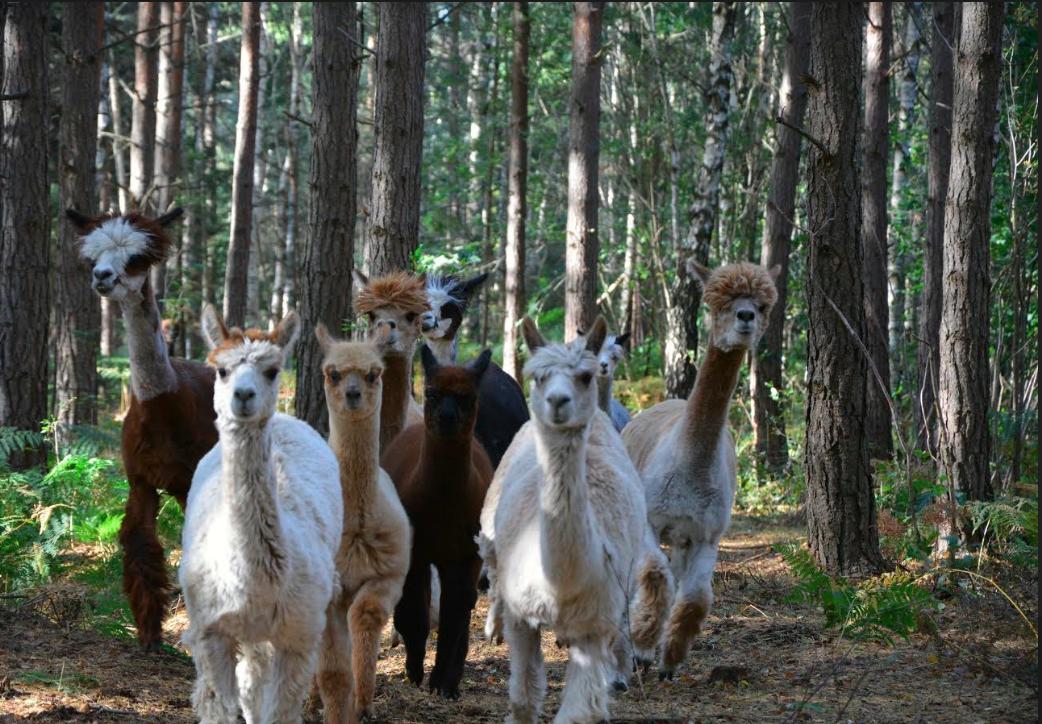 alpackorskogen