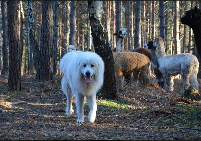 pyrenéerhund skogen
