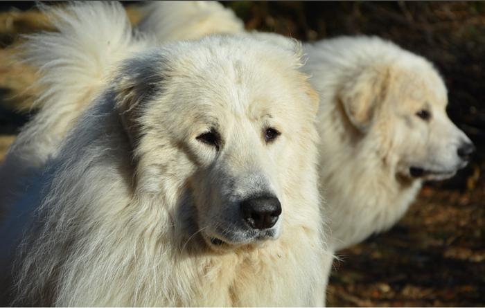 Våra djur. pyrenéerhund i närbild