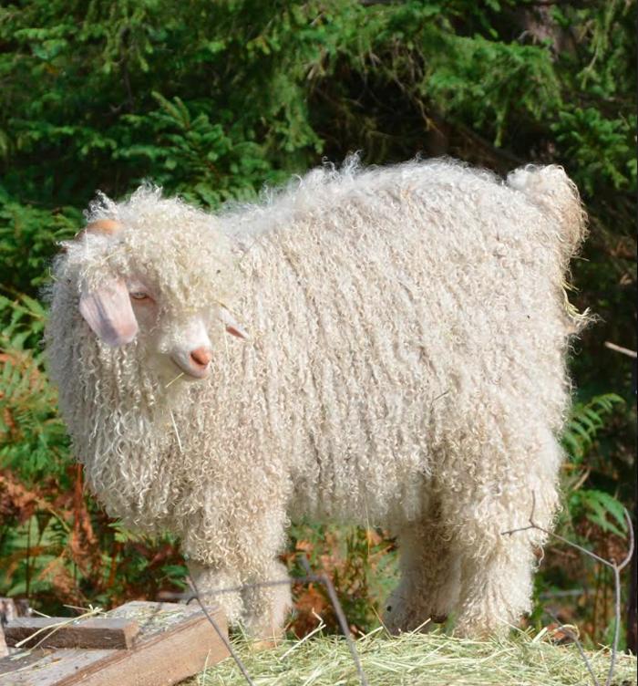Våra alpackadjur. vit angoraget